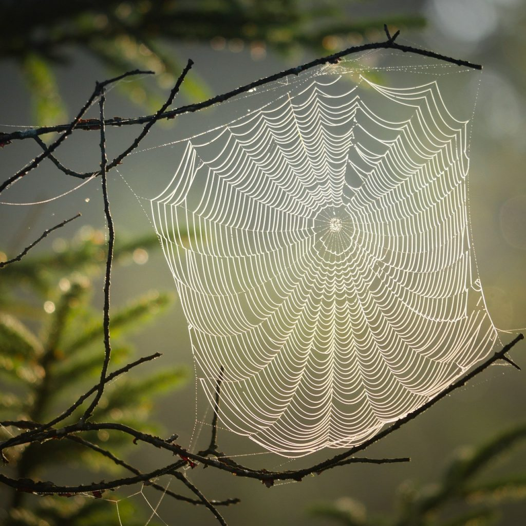 image of a spiders web drenched in dew against a forest background
